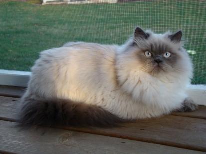Gato himalaio. (Foto: Reprodução/Pinterest)