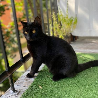 O Gato Bombaim parece uma pantera negra. (Foto: Instagram/bombaybabygirl)