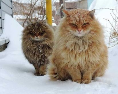 Gato siberiano (Foto: Reprodução/Pinterest)