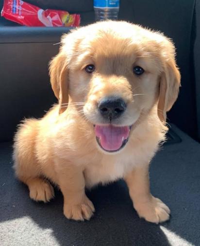Bentley se juntou a família Amherst com 8 semanas de idade em setembro deste ano. (Foto: Facebook Melissa Nixon para Golden Retriever Club)