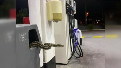 Clientes são surpreendidos com cobra tapete píton em posto de gasolina na Austrália. (Foto: Reddit/ T_Raite)