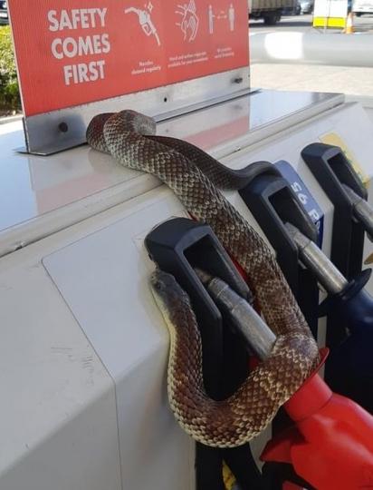 No mês de setembro, uma cobra se enrolou debaixo do carro de um motorista e se agarrou ao tanque de combustível do Coles Express em Nunawading em Melbourne. (Foto: Facebook/ Snakebusters Australian Snakeman)