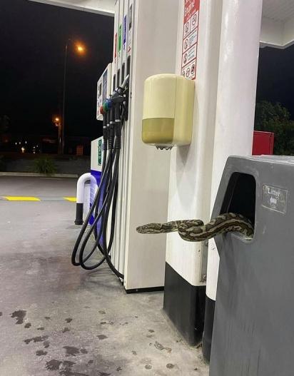 A cobra saiu de dentro de uma lixeira num posto de gasolina na Austrália. (Foto: Reddit/ T_Raite)