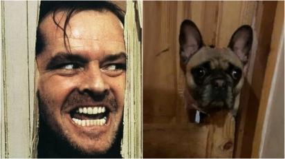 A cachorrinha Red (foto à direita), espiando por um buraco que ela fez na porta protagonizou a cena que Jack Nicholson (foto à esquerda) fez no terror dos anos 1980, The Shining. (Foto: Warner bros/Hawk Films/Kobal/Rex/Shutterstock | Kennedy News and Media)