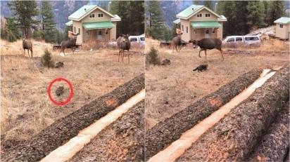 Gata corajosa assusta e coloca para correr grupo de veados. (Foto: Reprodução Youtube/ViralHog)