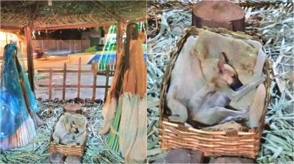 Filhote de cachorro de rua que foi encontrado dormindo em presépio de praça é adotado. (Foto: Arquivo Pessoal/Nádia Rosângella)