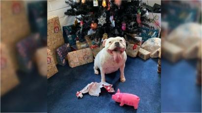 Cadela encontra o seu presente de Natal misturado com outros, o abre e o esconde dos donos. (Foto: Arquivo Pessoal/Kim Hutchinson)