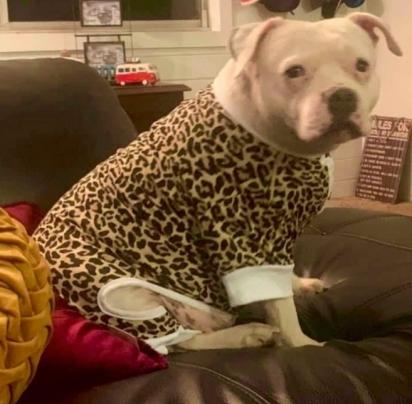 Hemi adora ganhar presentes e esse ano o Natal não passou em branco para a cachorrinha. (Foto: Arquivo Pessoal/Kim Hutchinson)