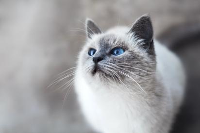 Gato da raça Javanês. (Foto: Unsplash/Mikhail Vasilyev)