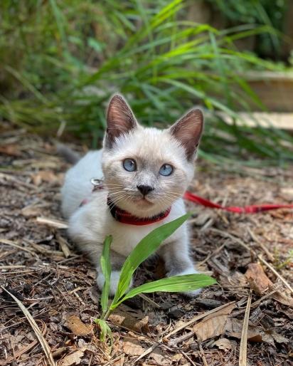 Gato da raça Siamês. (Foto: Instagram/mila.the.macka)