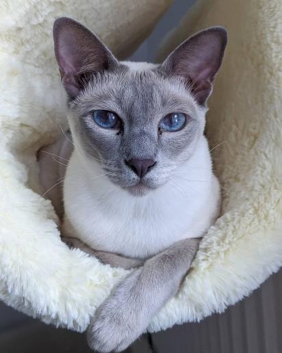 Gato da raça Tonquinês. (Foto: Instagram/yoshitonks)