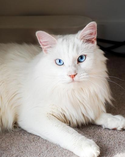 Gato da raça Angorá turco. (Foto: Instagram/kingleothefluffy)