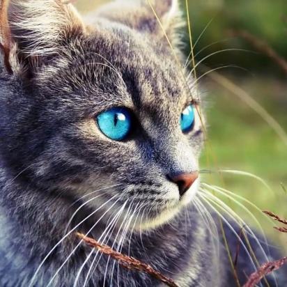 Gato da raça Ojos Azules. (Foto: Instagram/elite_kittens)