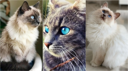 Conheça raças de gatos cujos filhotes costumam nascer com olhos azuis. (Foto: Instagram/misotebalinês | Foto: Instagram/elite_kittens | Instagram/miluna.thebirmancat)