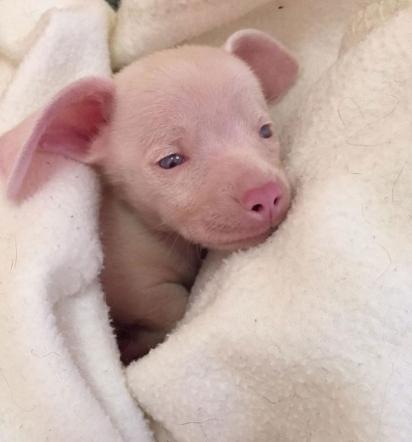 O cachorrinho Piglet, nasceu surdo e cego e devido a cruza dos seus pais nasceu com a coloração rosa. (Foto: Instagram/pinkpigletpuppy)