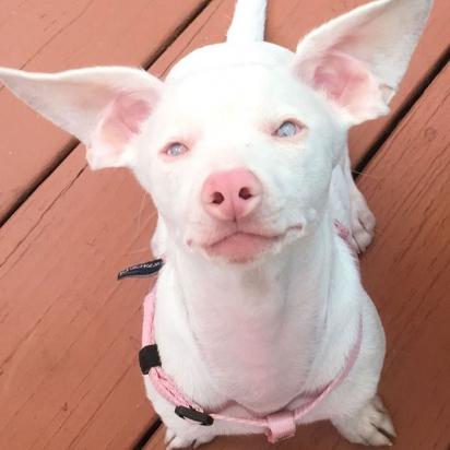 Piglet se tornou um lindo cachorrinho rosa. (Foto: Instagram/pinkpigletpuppy)