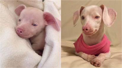Leitão, o filhote de cachorro cego e surdo que ensina às crianças como lidar com as diferenças. (Foto: Instagram/pinkpigletpuppy)