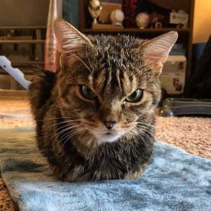 Giggles é um gatinho com cara de zangado, mas com um coração amável. (Foto: Instagram/gigglestheangrycat)
