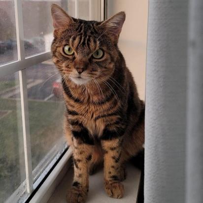 O passatempo favorito de Giggles é sentar no parapeito da janela e observar os passarinhos voando. (Foto: Instagram/gigglestheangrycat)