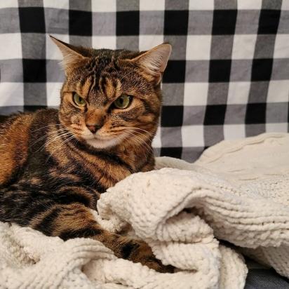 Giggles adora estar aconchegado no seu cobertor. (Foto: Instagram/gigglestheangrycat)