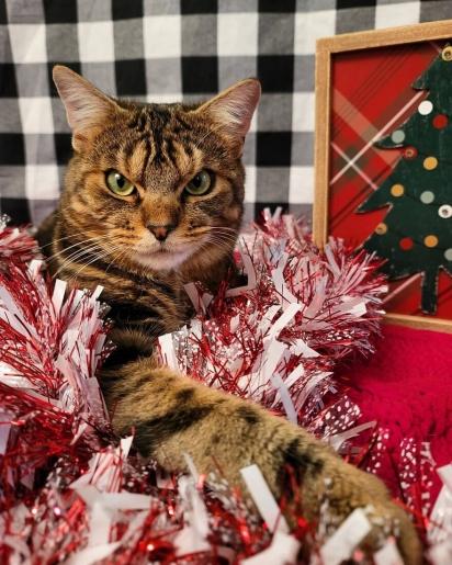 Giggles está no espírito de Natal. (Foto: Instagram/gigglestheangrycat)