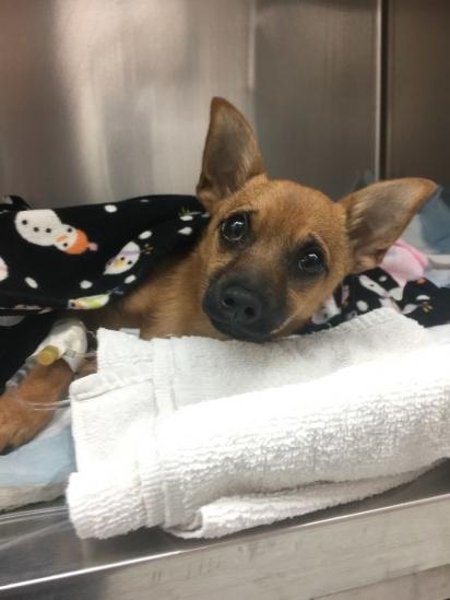 A cachorrinha estava quase em coma de tanto inalar substância ilícita. (Foto: Facebook/@NorthTexasEmergencyPetClinic)