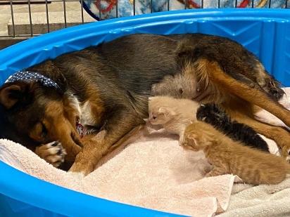 Georgia foi receptiva com os gatinhos e os adotou. (Foto: Facebook/Sunshine Dog Rescue)
