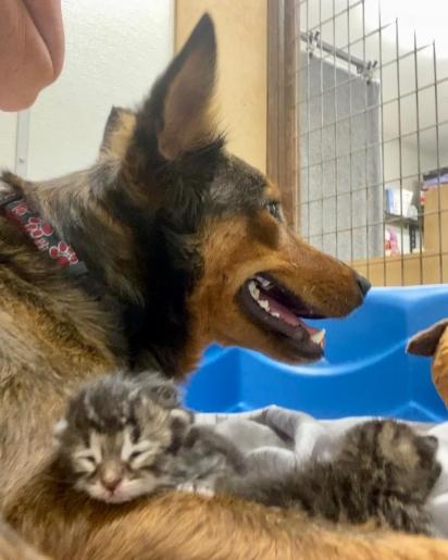 O vínculo que Georgia criou com os gatinhos é lindo. (Foto: Facebook/Sunshine Dog Rescue)