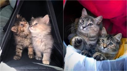 Gatinhas que perderam irmão vão para abrigo e não desgrudam uma da outra. (Foto: Facebook/Rescue Chatons Montréal)