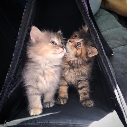 Quando encontrados, eram um trio de gatinhos, infelizmente o macho faleceu. (Foto: Facebook/Rescue Chatons Montréal)