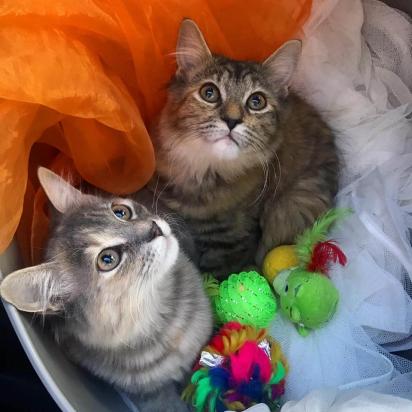 As irmãs felinas estão grudadas como cola. Quando não estão se perseguindo pela casa, fazendo barulho, eles estão se abraçando em algum lugar. (Foto: Facebook/Rescue Chatons Montréal)