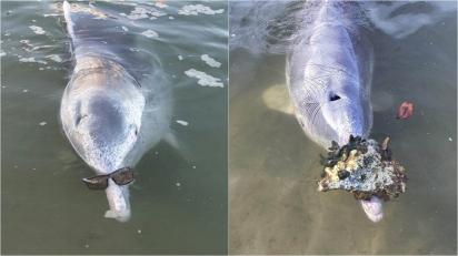 Golfinho esperto traz presentes do fundo do mar para funcionários em troca de uma refeição extra. (Foto: Facebook/Barnacles Cafe & Dolphin Feeding)