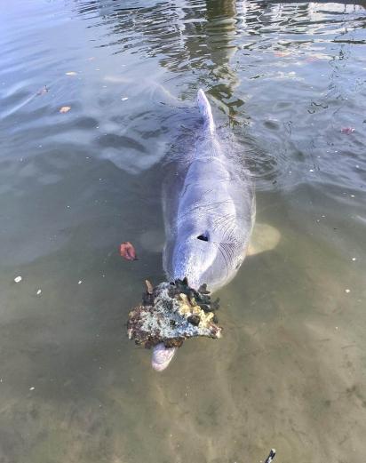 O golfinho Mystique, vive no centro aquático Tin Can Bay, em Queensland, Austrália. (Foto: Facebook/Barnacles Cafe & Dolphin Feeding)