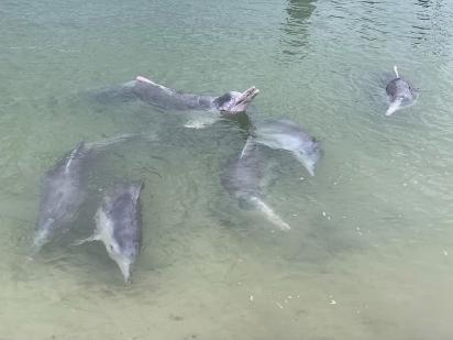 Mystique vive com outros 7 golfinhos, mas ele é o único que adora dar presente. (Foto: Facebook/Barnacles Cafe & Dolphin Feeding)