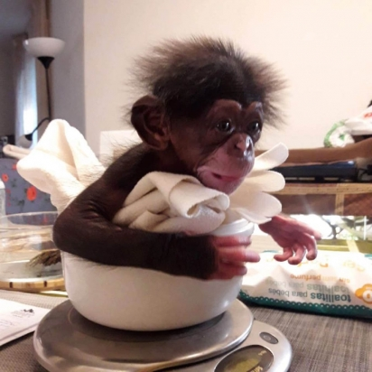 O bebê chimpanzé foi rejeitado por sua mãe no zoológico de Málaga. (Foto: Reprodução/bioparcvalencia)