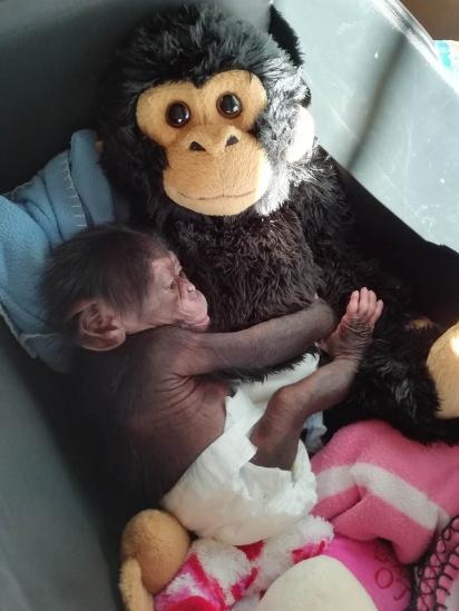 O bebê chimpanzé encontrou conforto em um macaco de pelúcia fofinho. (Foto: Reprodução/bioparcvalencia)