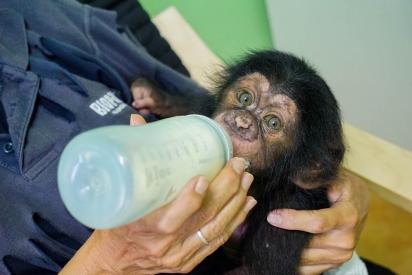 Os funcionários do zoológico amamentaram o bebê enquanto não encontravam uma nova família para ele.(Foto: Reprodução/bioparcvalencia)