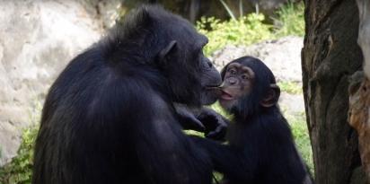 Aos 16 meses, Djibril encontrou uma nova família em um parque de animais em Valência. (Foto: Reprodução/bioparcvalencia)