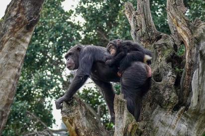 Eva, a mamãe adotiva, colocou Djibril sob sua proteção. (Foto: Reprodução/bioparcvalencia)