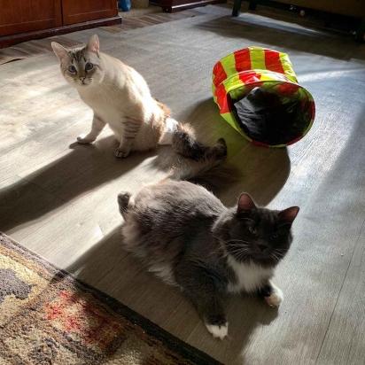 A gatinha Lady Purrl com o seu amigo HarPURR.