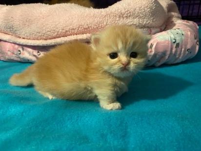 Versace é uma filhote linda e esperta. (Foto: Facebook/Fox Foster Kittens)