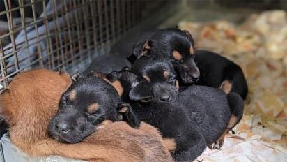 Ao todo foram encontrados 8 filhotes. (Foto: Reprodução/RSCPA)