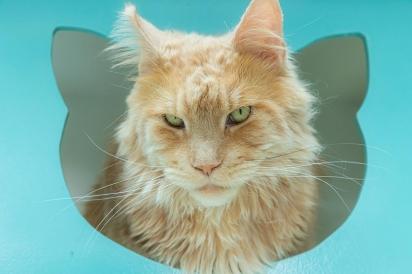 Os felinos são sensíveis às alterações radicais em seu ambiente, nesse período do ano é bom que fiquem em um local seguro, sem que as pessoas os incomodem. (Foto: Vanessa Zimbres)