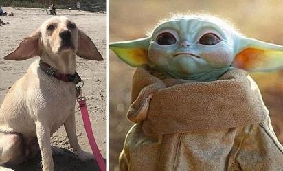 Separados pelo Mickey Mouse! O dono desse cachorro observou que ele se parecia com o Baby Yoda, da série da Disney +, o Mandalorian. (Foto: Facebook/Relsey Marie Mullins)