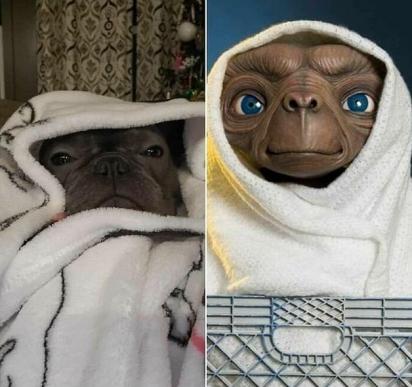 Bastou uma toalha branca para destacar o quanto esse bulldog se parecia com o amigável ET extraterritorial. (Foto: Facebook/Ashley Spaulding)