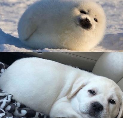 O dono deste adorável filhote de labrador de aparência rechonchuda, de Connecticut, o comparou com um bebê-foca. Muito parecido, né? (Foto: Facebook/Kelly McCaffrey)