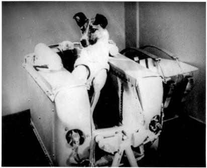 A cachorrinha Laika. (Foto: Reprodução/National Air and Space Museum)