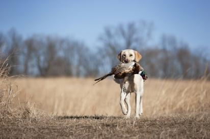 Essa raça são ótimos caçadores. (Foto: Reprodução/American Kennel Club)