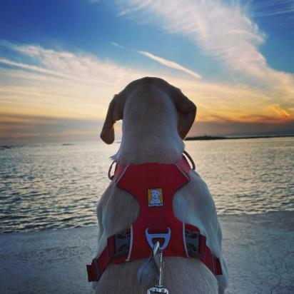 Sua inteligência e personalidade permite que eles trabalhem em vários nichos de cão de serviço à cão de terapia. (Foto: Instagram/shelistagram)