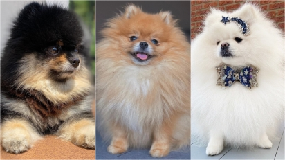 Curiosidades sobre os lulus da pomerânia, uma das raças caninas mais fofas do mundo. (Foto: Instagram/dusyathepom | Instagram/ollie.the.pomeranian | Instagram/little.miss.chanel)